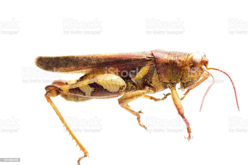 insect grasshopper locust stock photo