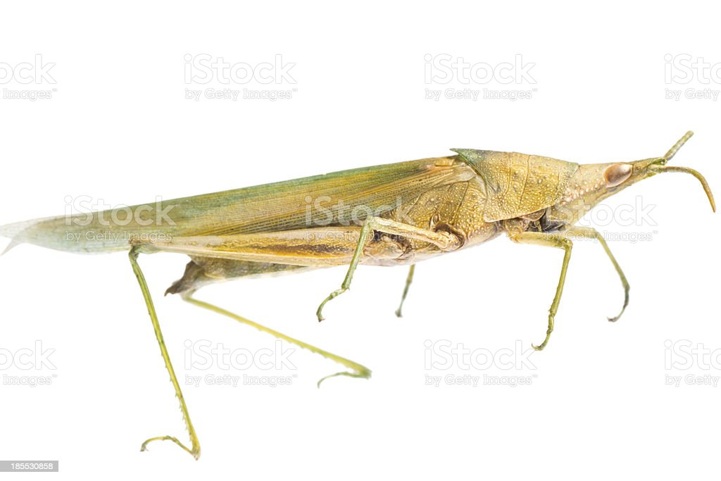 insect grasshopper locust royalty-free stock photo