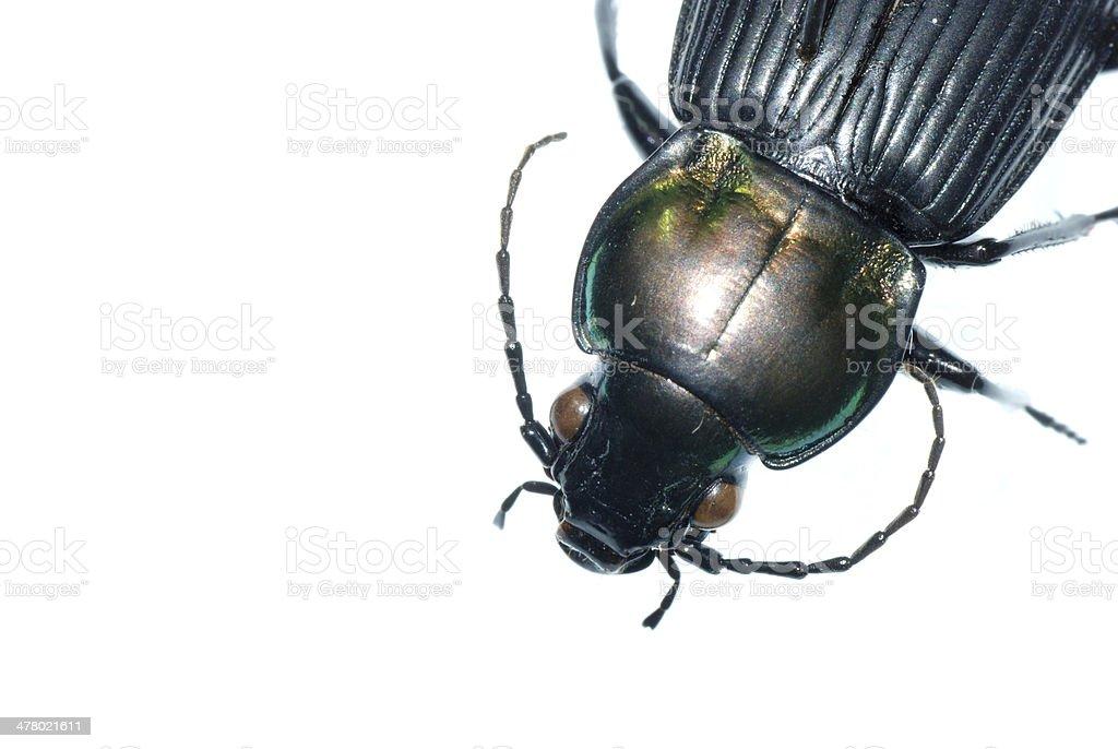 insect ground beetle bug stock photo