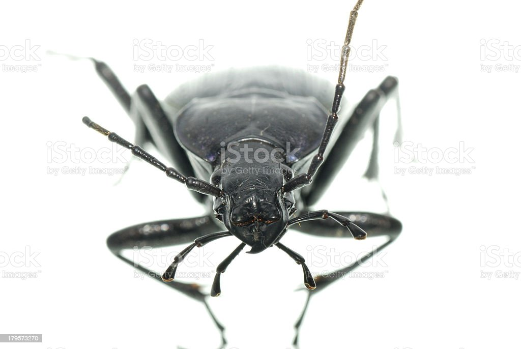 insect ground beetle stock photo