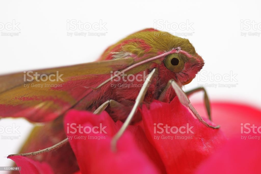 Insect Hawk lat. Deilephila elpenor royalty-free stock photo