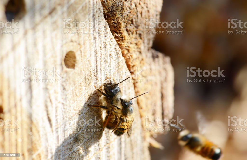 Insect hotel with mating wild solitary bee Osmia bicornis on insect...