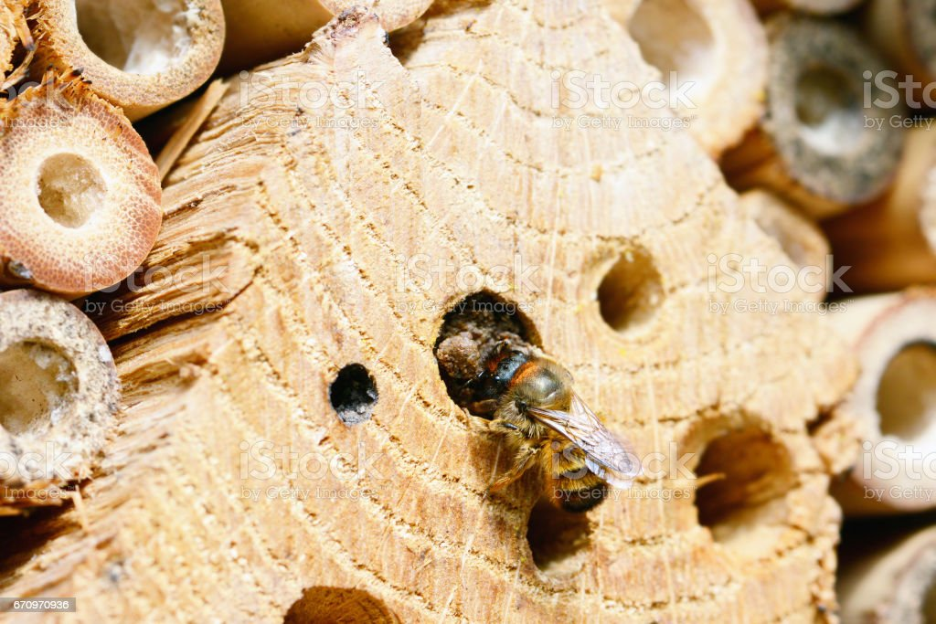 Insect hotel with wild bee (osmia bicornis) stock photo