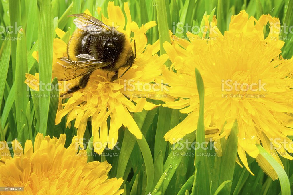 insect is a bumble-bee royalty-free stock photo