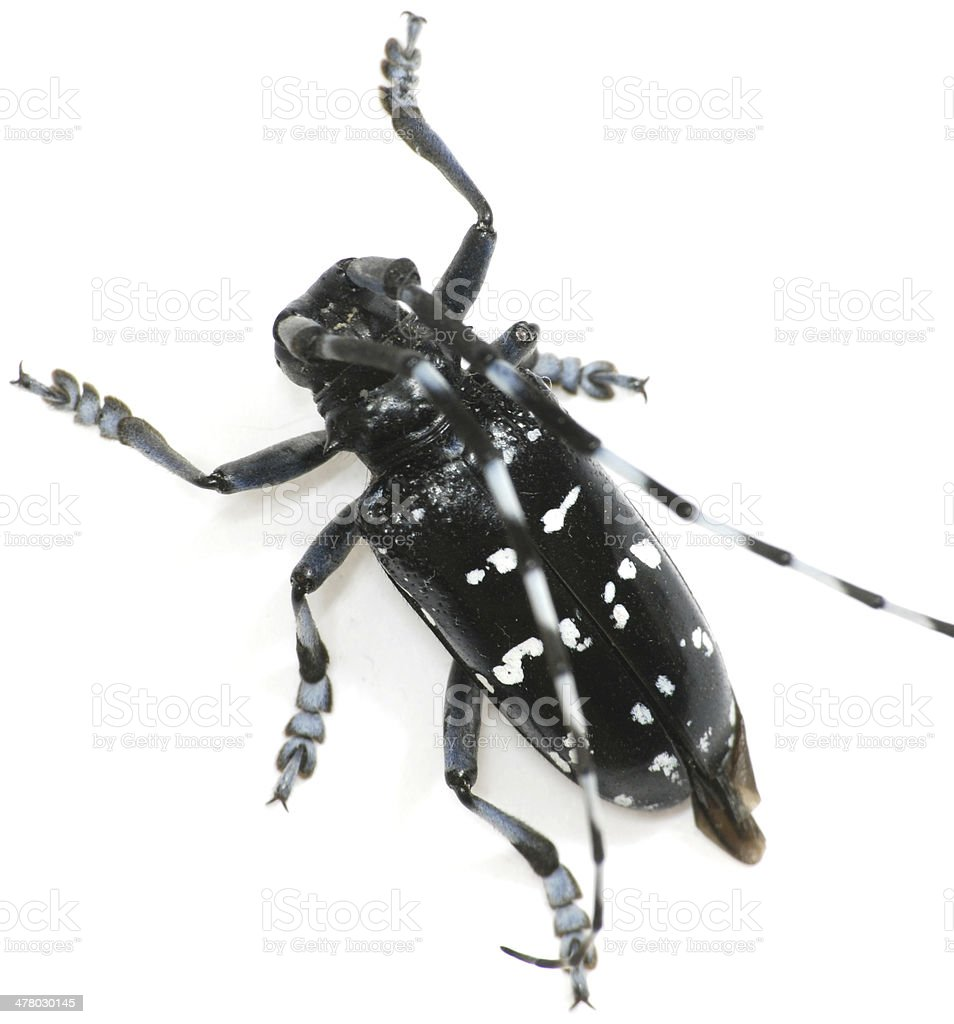 insect long horn beetle isolated stock photo