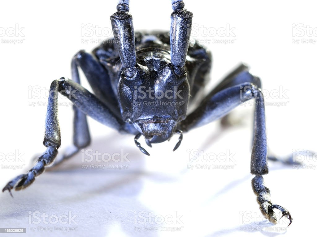 insect long horn beetle macro stock photo