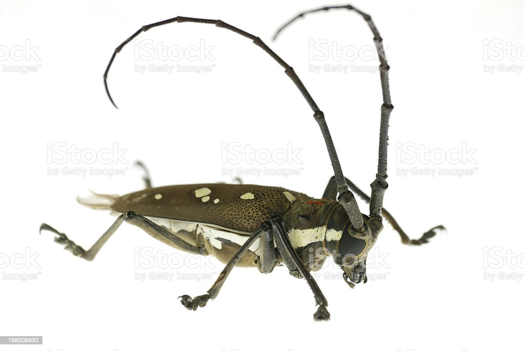 insect long horn beetle stock photo