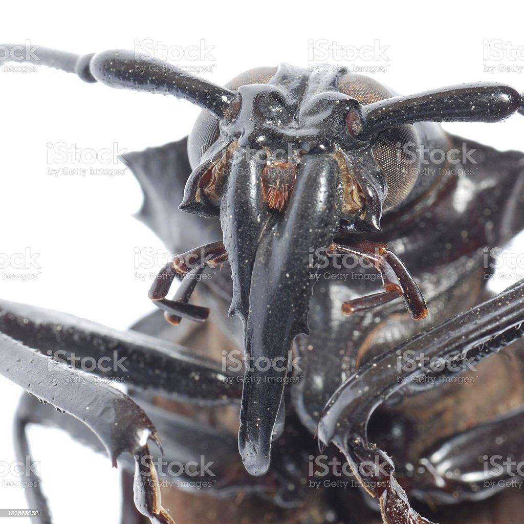 insect longhorn beetle head macro stock photo