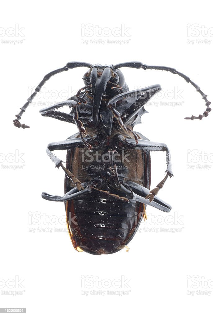 insect longhorn beetle stock photo