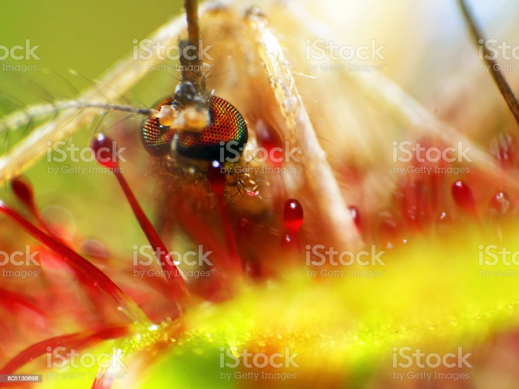 Insect moskito traped by drosera ( sundew ) close up stock photo