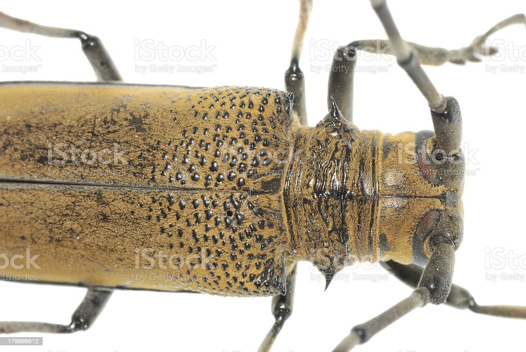 insect mulberry borer beetle stock photo