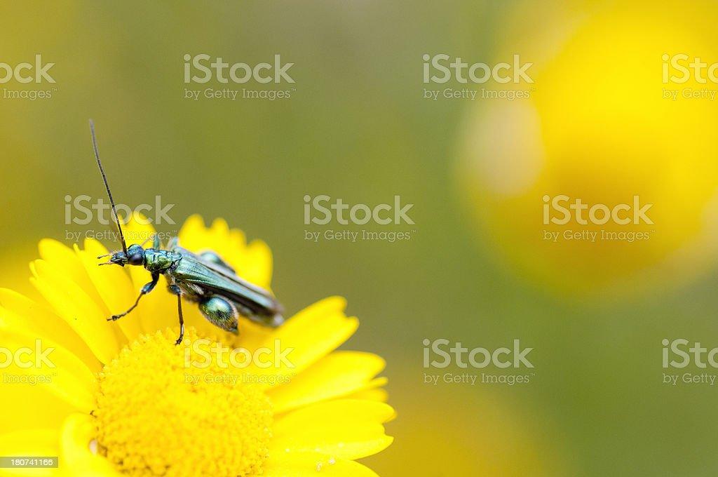 Insect - Oedemera nobilis stock photo