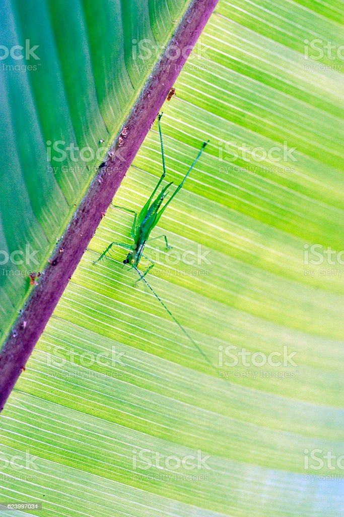 Insect of the Orthoptera order sighted in the Atlantic Forest stock photo