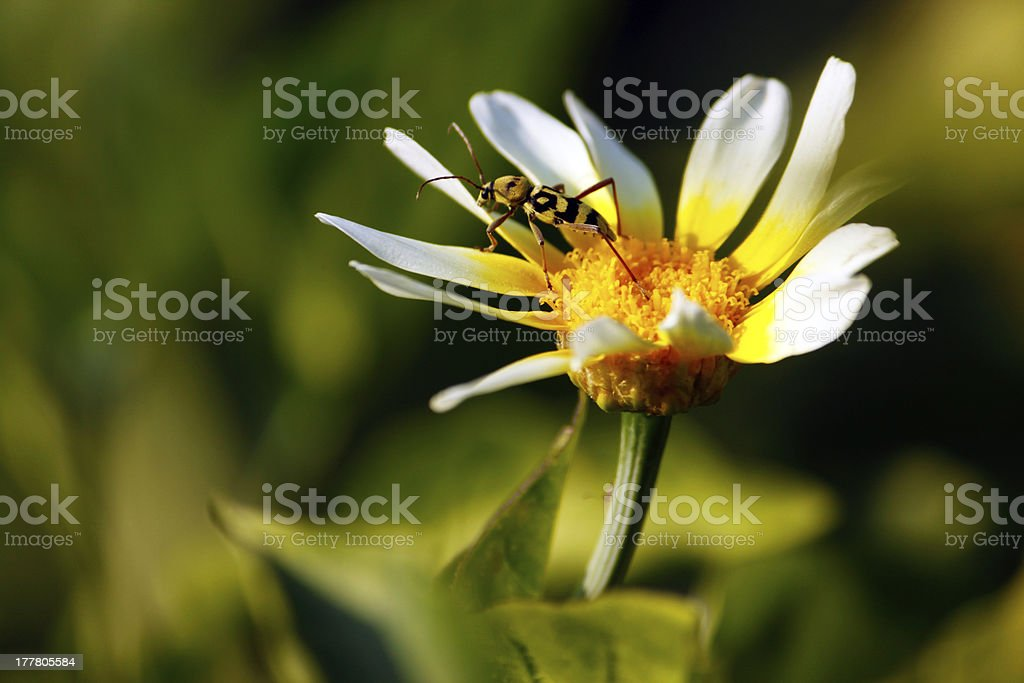 Insect on a Daisy royalty-free stock photo