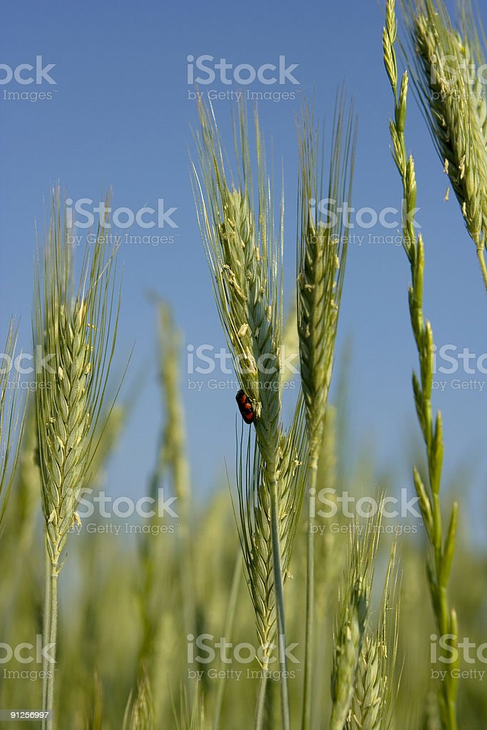 Insect on a Wheat Spike Against Blue Sky stock photo