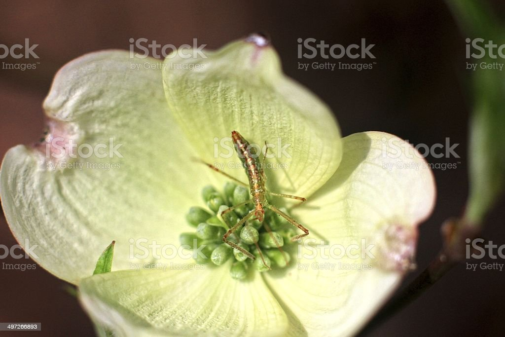 Insect on dodwood royalty-free stock photo