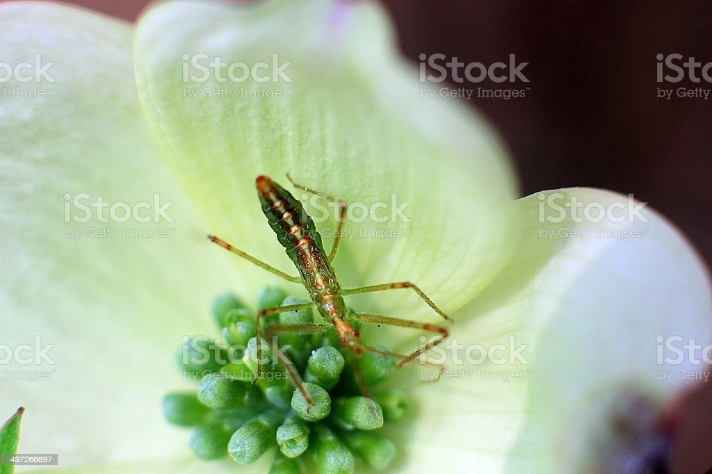 Insect on dogwood royalty-free stock photo