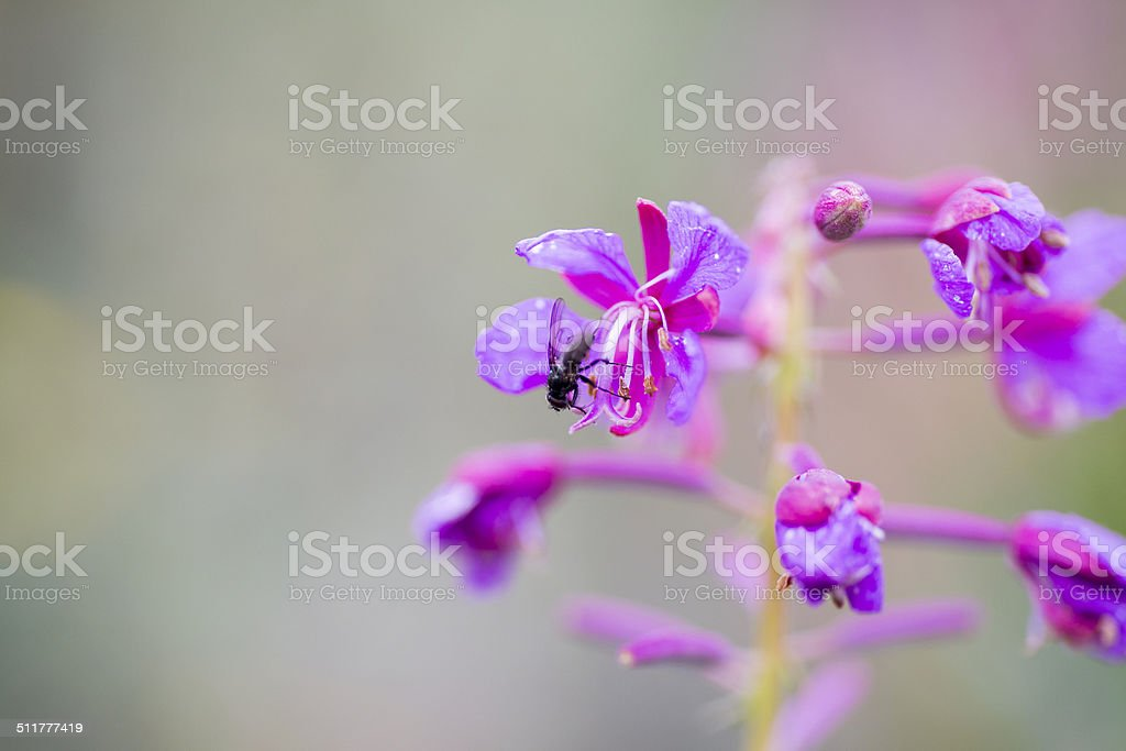 Insect on fireweed blossom stock photo