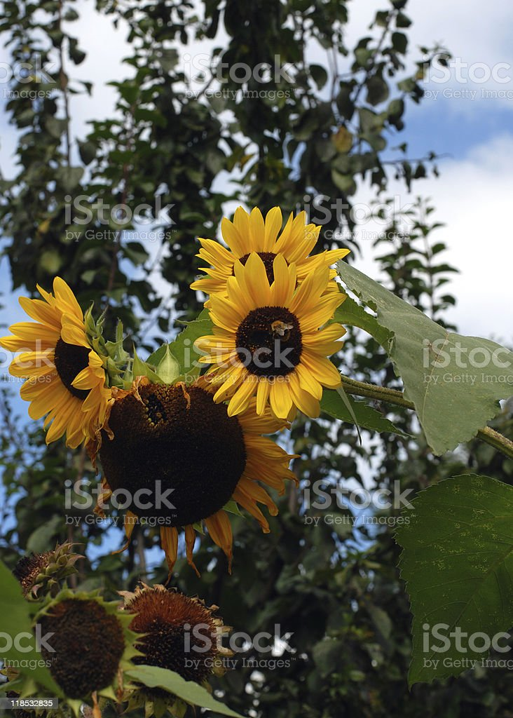 Insect on sunflower stock photo