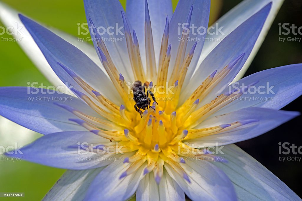 Insect pollinating blue water lily stock photo
