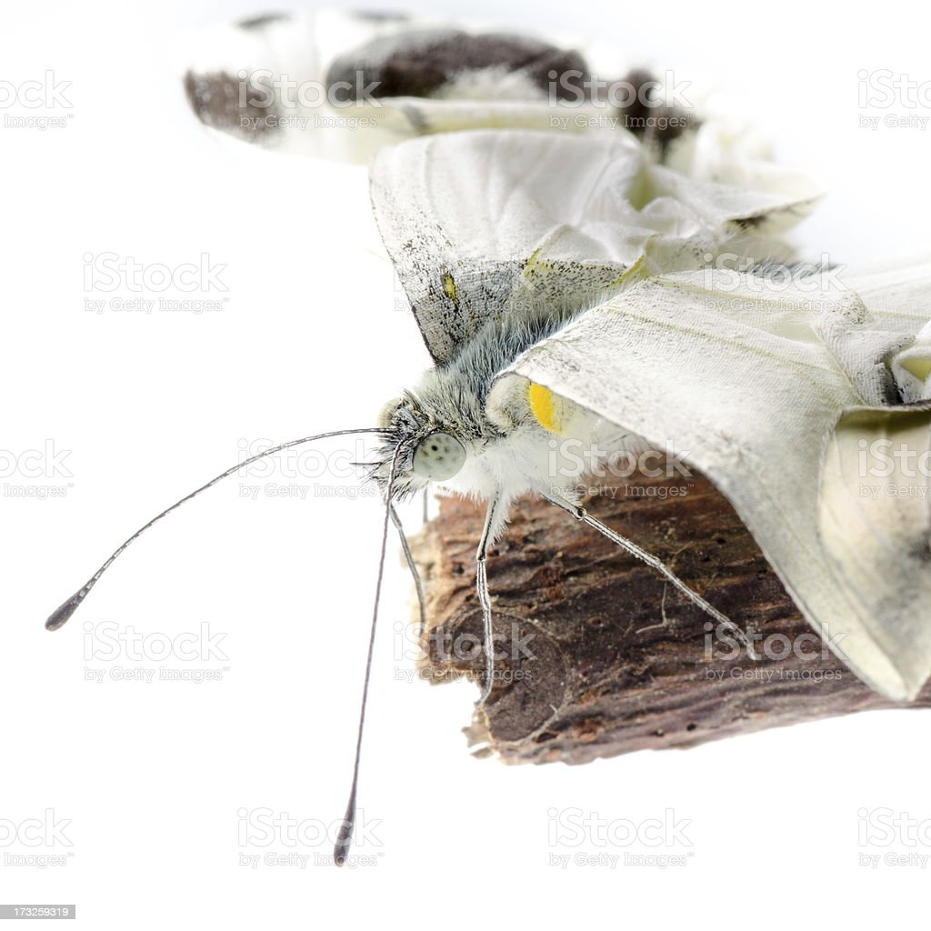 insect small white butterfly emergence royalty-free stock photo