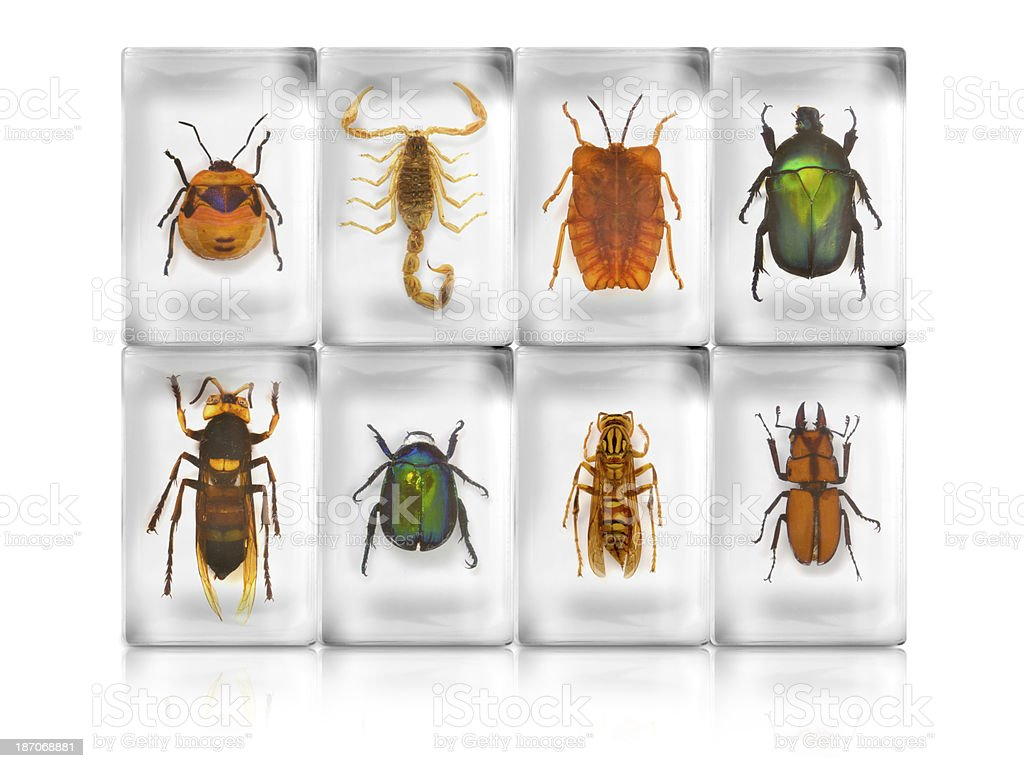 insect specimen in resin royalty-free stock photo
