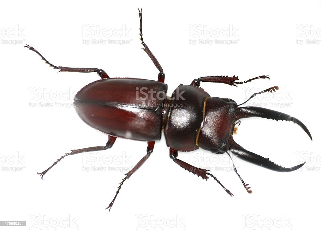 insect stag beetle bug royalty-free stock photo