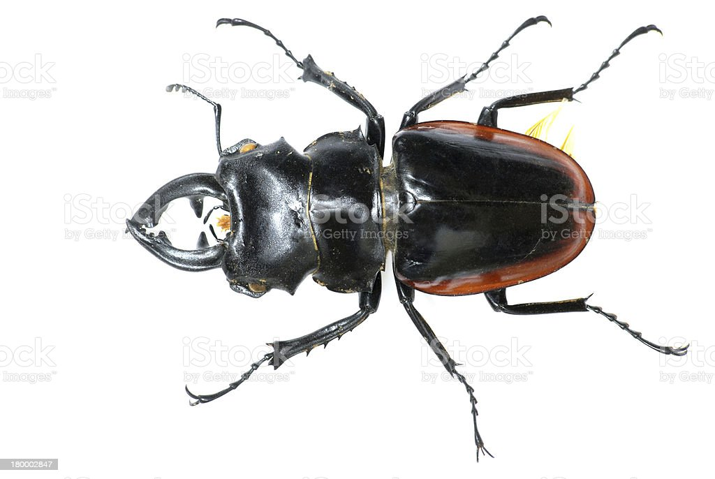insect stag beetle bug stock photo