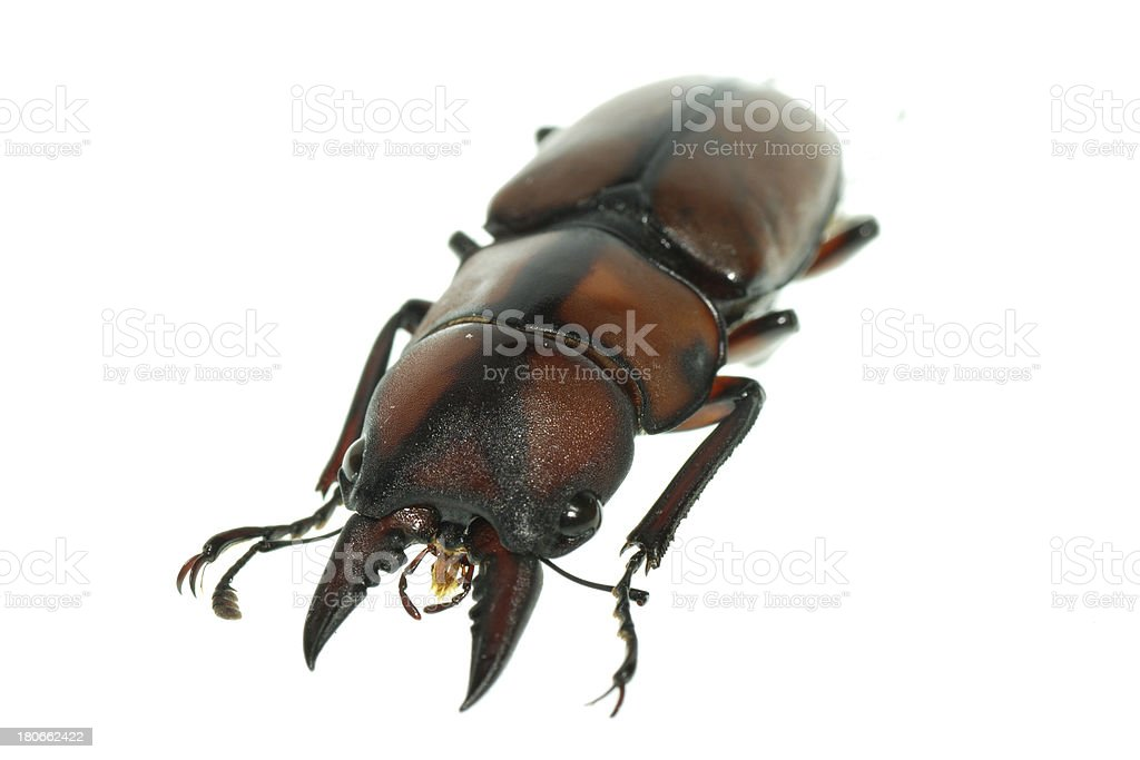 insect stag beetle royalty-free stock photo