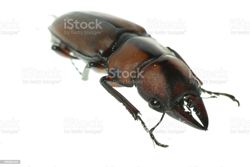 insect stag beetle stock photo