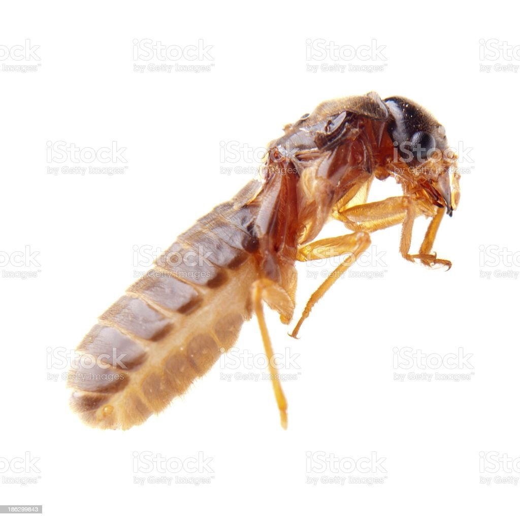 insect termite white ant royalty-free stock photo