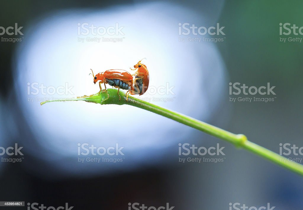 Insect tortoise Golden royalty-free stock photo