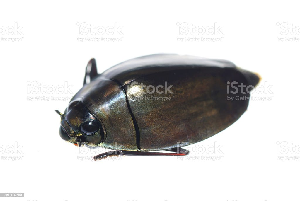 insect whirligig beetle stock photo
