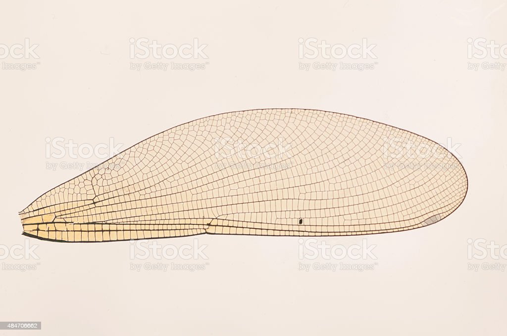 Insect wing stock photo