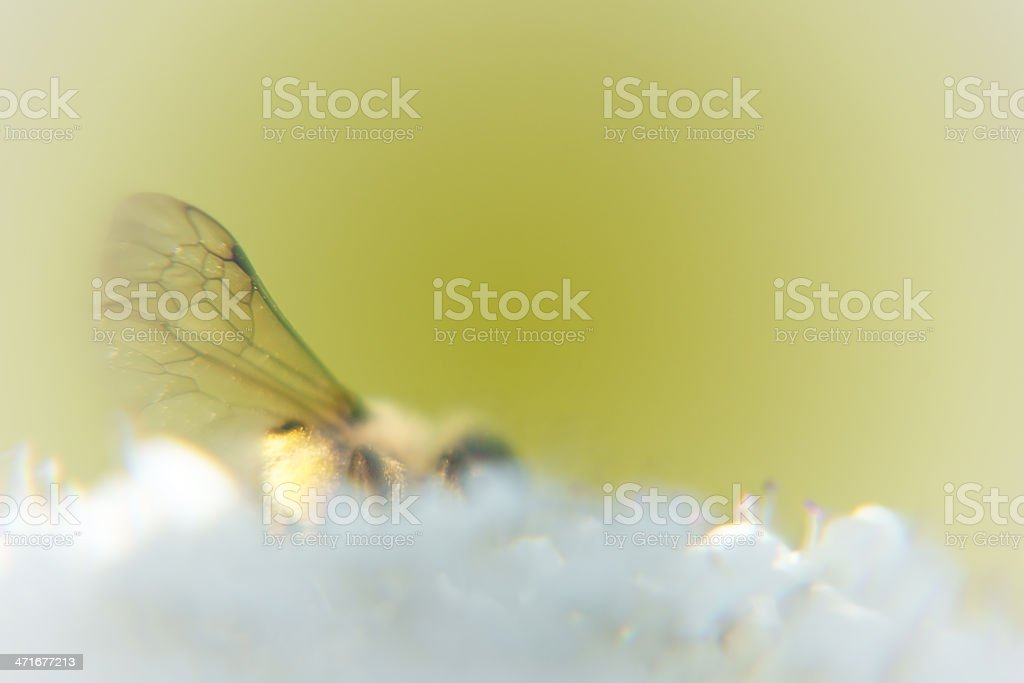 Insect Wings royalty-free stock photo