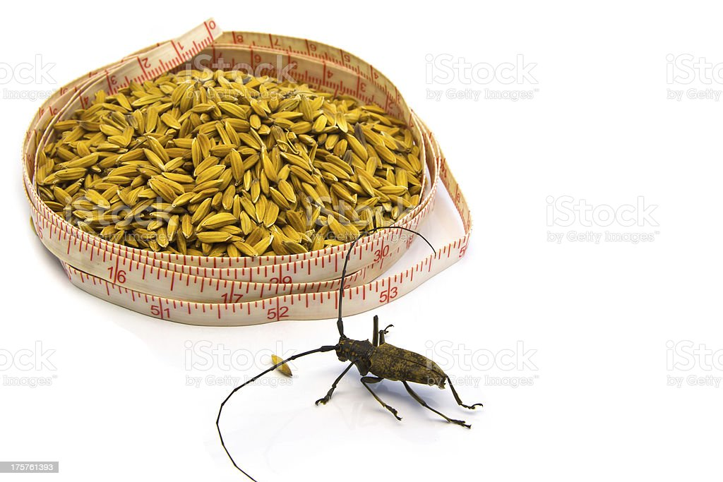Insect with Measuring Tape around paddy isolated on white royalty-free stock photo