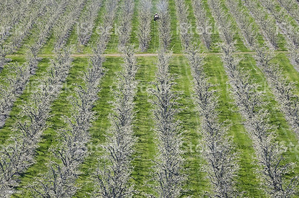 Insecticide sprayer in apple orchard royalty-free stock photo