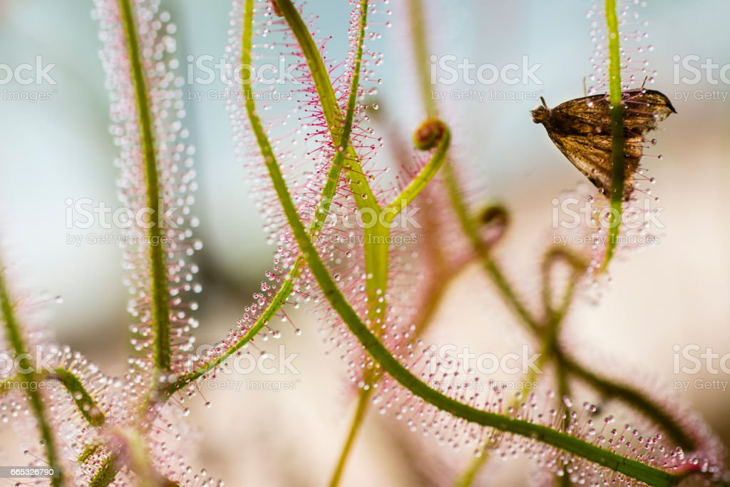 Insectivorous plant Drosera close up stock photo