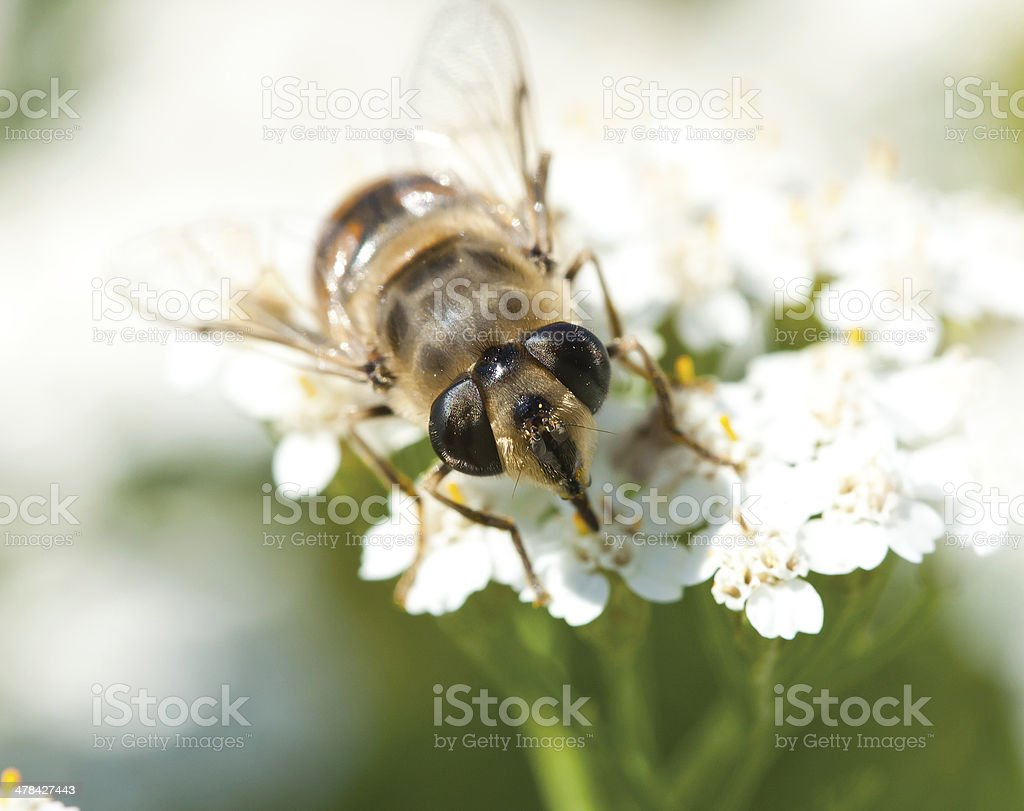 Insect's eyes royalty-free stock photo