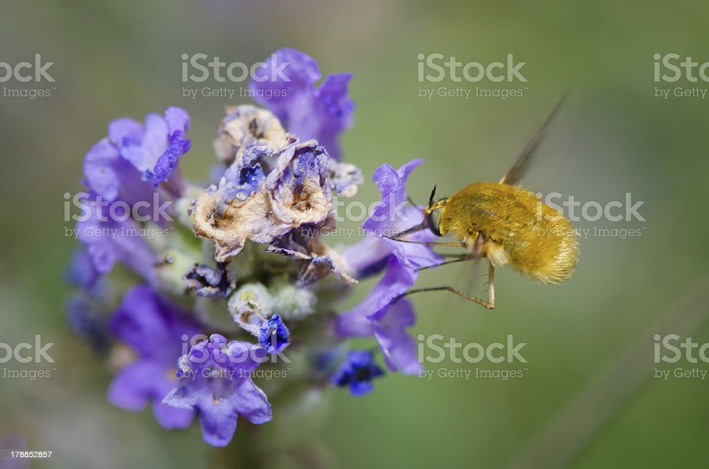 Insects in flight collecting pollen stock photo