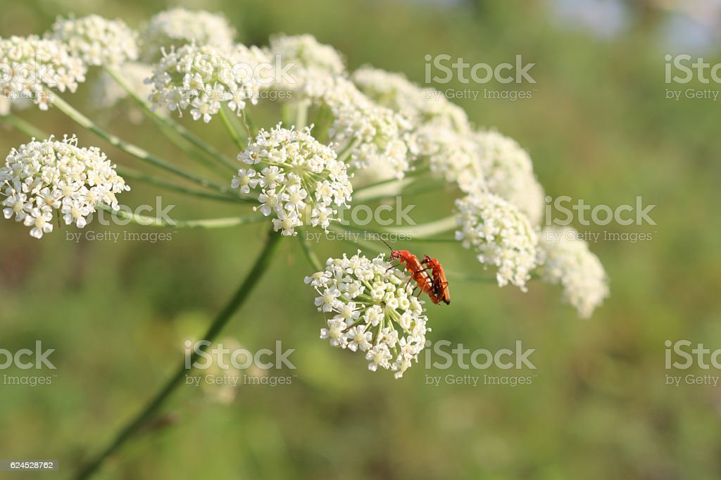 Sexual reproduction act of two small red insects. White blooming...
