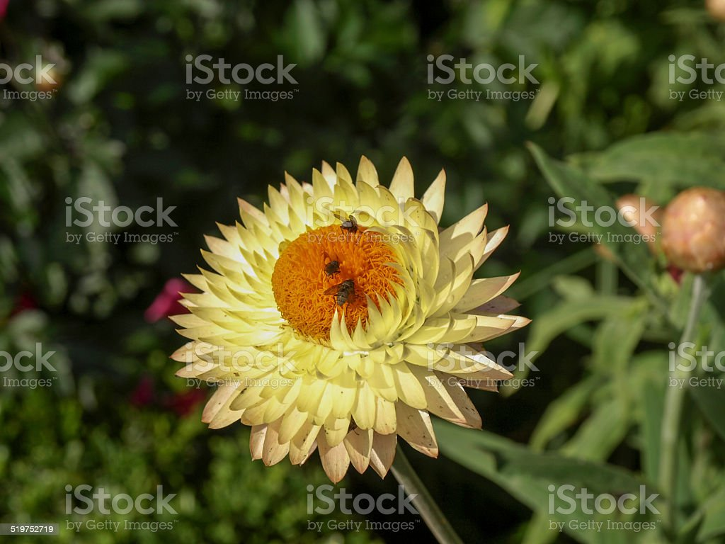 Insects on a Straw flower royalty-free stock photo
