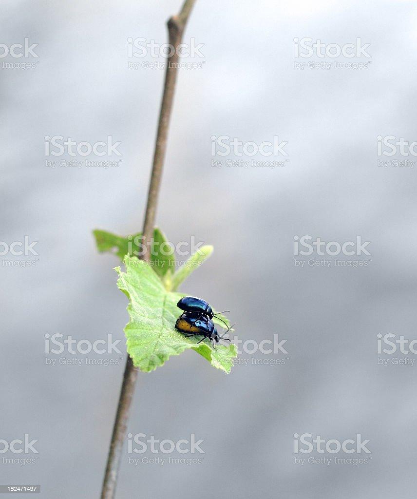 two copulating beetles in green vegetation