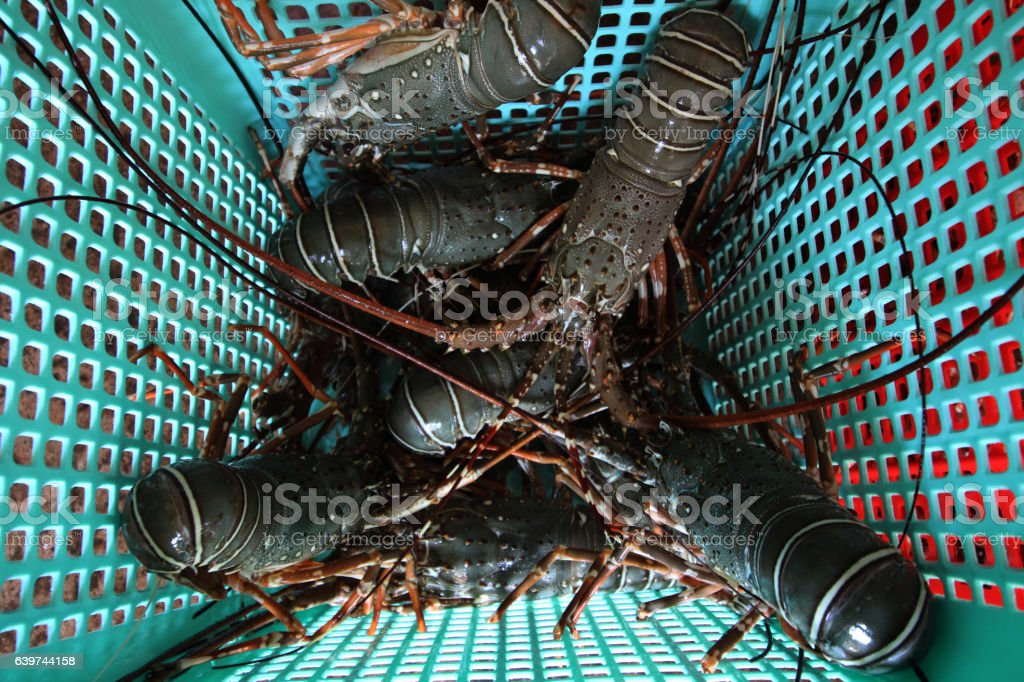 insensible lobster stock photo