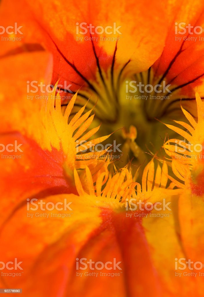 Inside a blooming cress, macro royalty-free stock photo