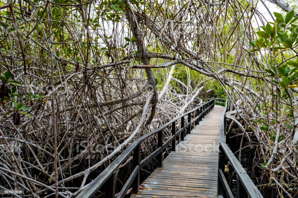 Inside a mangrove Forest stock photo