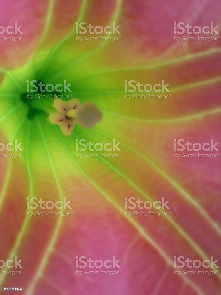 Inside Brugmansia Sanguinea / Angel's Trumpet stock photo