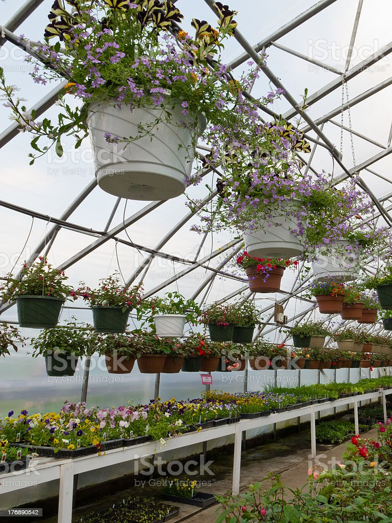 Inside commercial greenhouse with bedding plants royalty-free stock photo