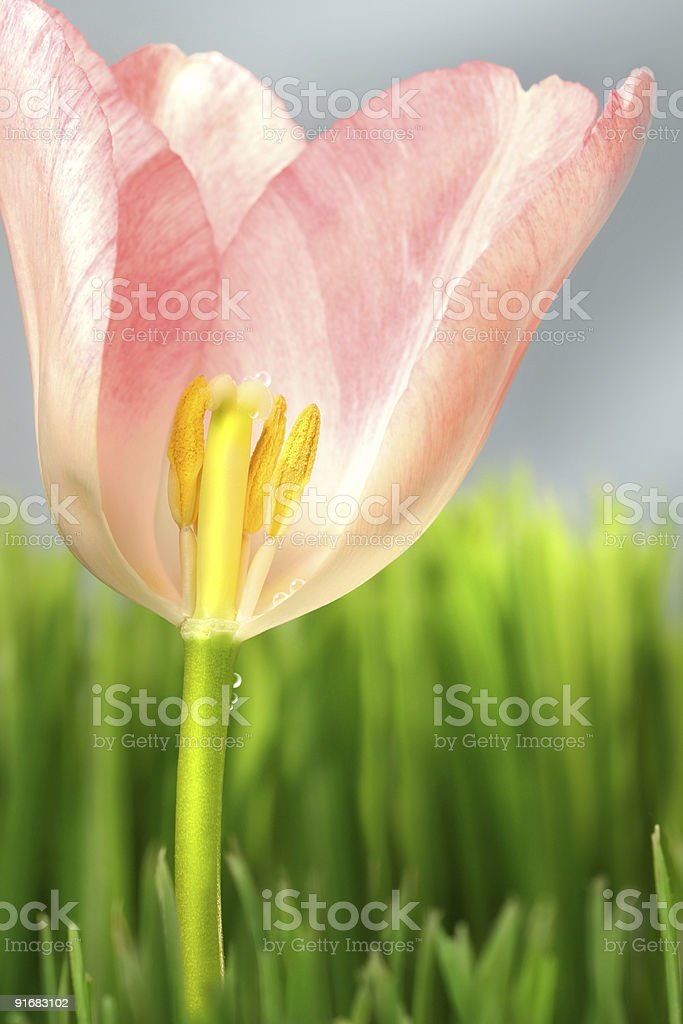 Inside of a pink tulip royalty-free stock photo