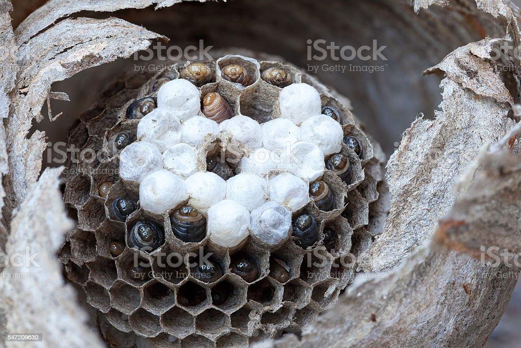 Inside of a Yellow Jacket Wasp Nest Macro stock photo